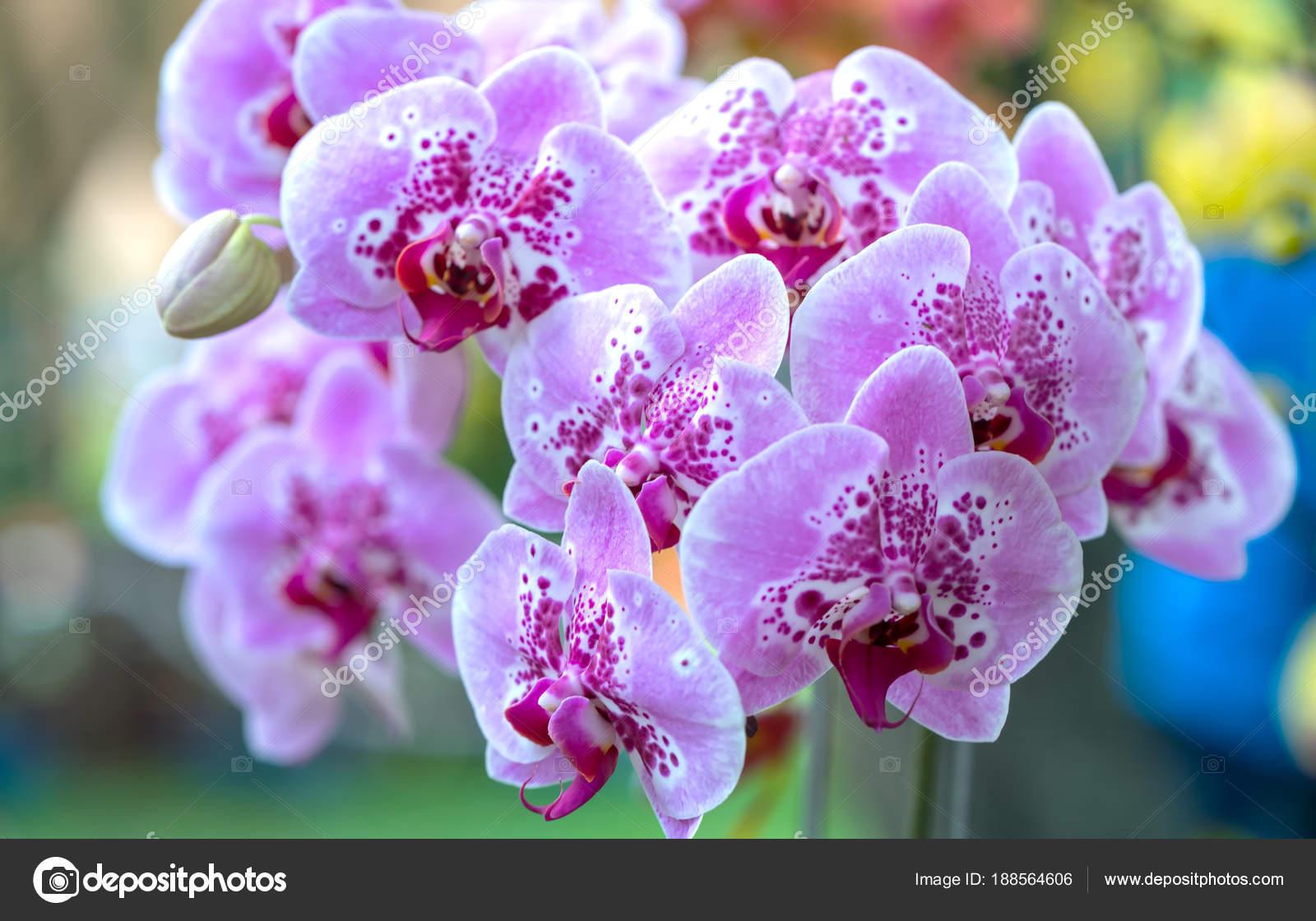 Phalaenopsis Flowers Bloom Spring Adorn Beauty Nature Most Beautiful