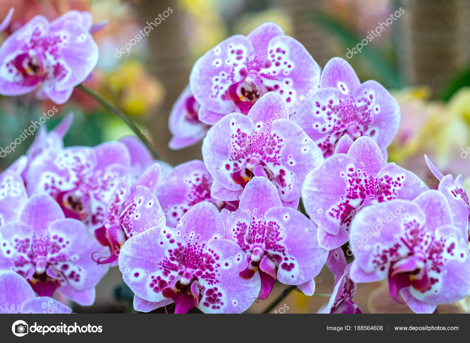 Phalaenopsis Flowers Bloom Spring Adorn Beauty Nature Most Beautiful