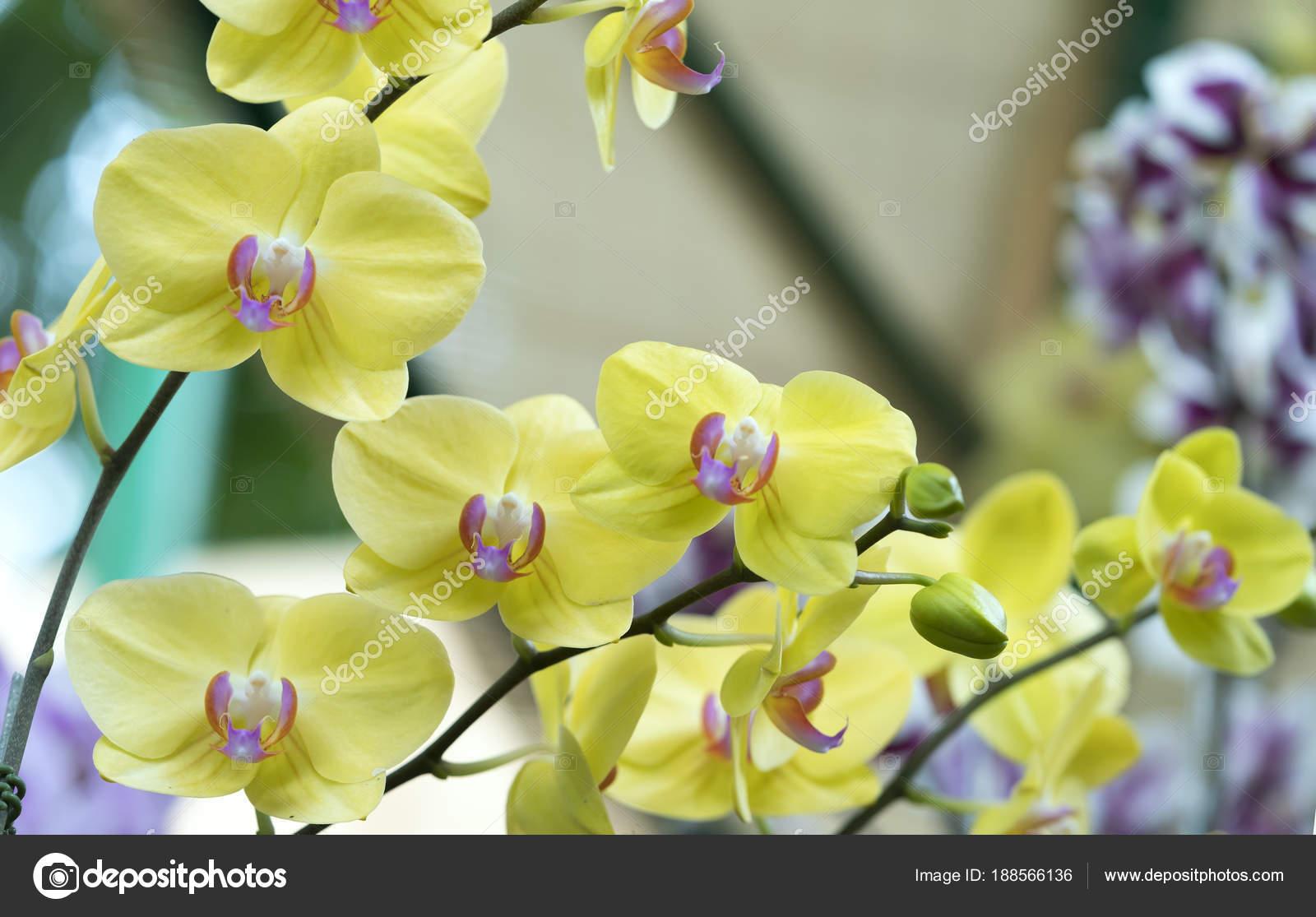 Phalaenopsis flowers bloom spring adorn beauty nature most beautiful phalaenopsis flowers bloom spring adorn beauty nature most beautiful orchid stock photo mightylinksfo