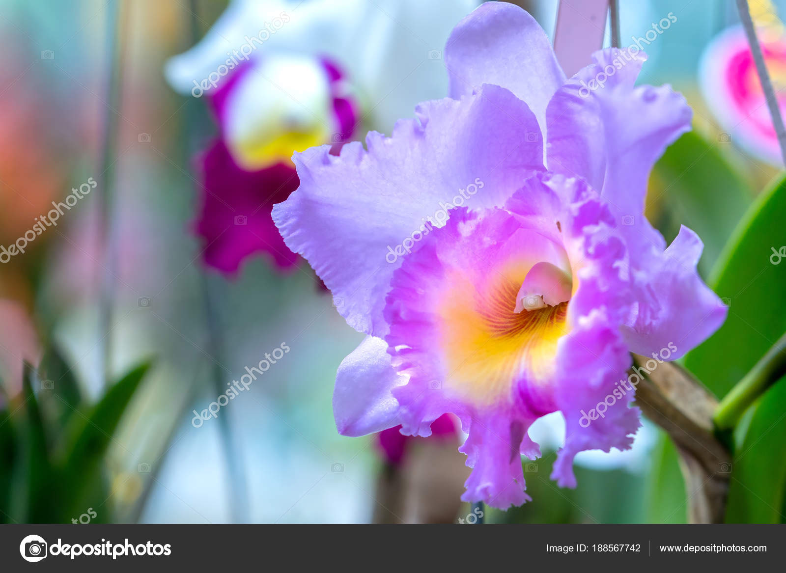 Cattleya Flowers Bloom Spring Adorn Beauty Nature Most Beautiful