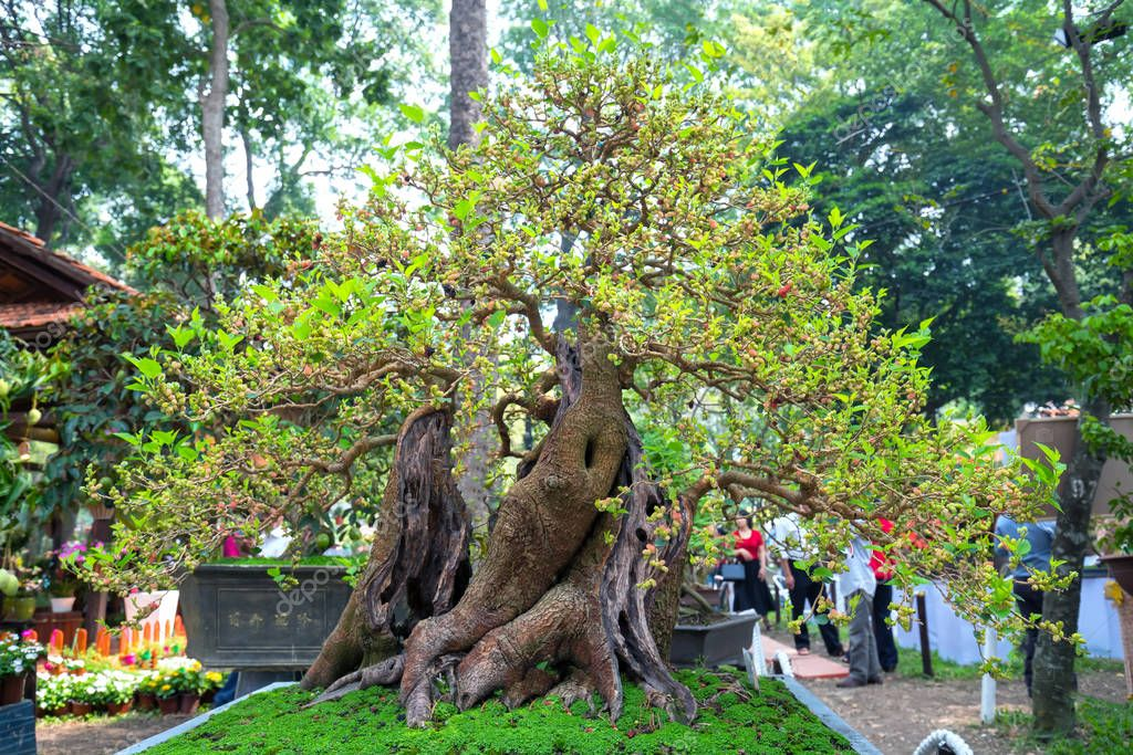 Ho Chi Minh City, Vietnam - February 16, 2018: Tree bonsai fruit or strawberry tamarind exhibited in the park in spring flowers festive Lunar New Year in Ho Chi Minh City, Vietnam