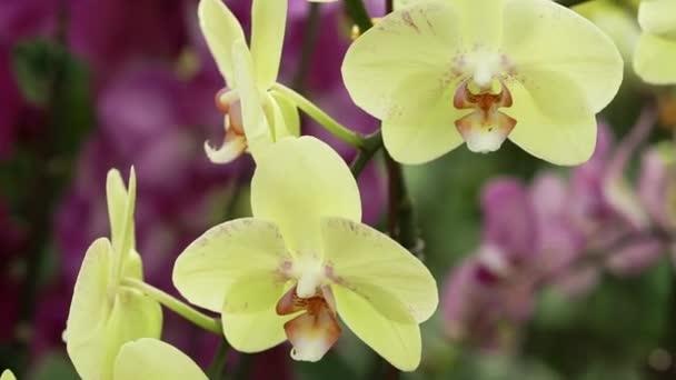 Phalaenopsis orchideák virágzik tavasszal díszítik a természet szépségét.