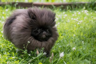 Black puppy pekingese dog run and jump on green grass