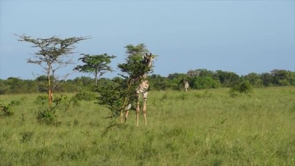 Giraffe in the African Bush eating tree leaves, Saadani Safari Park