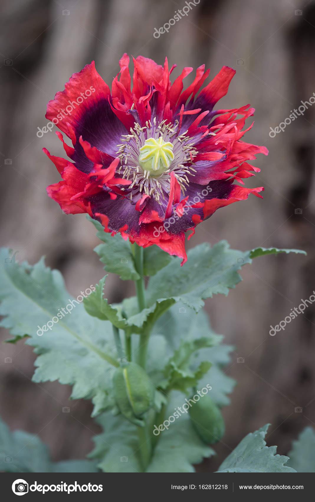 Opium Poppy Flower Head Stock Photo Alantunnicliffeyahoo