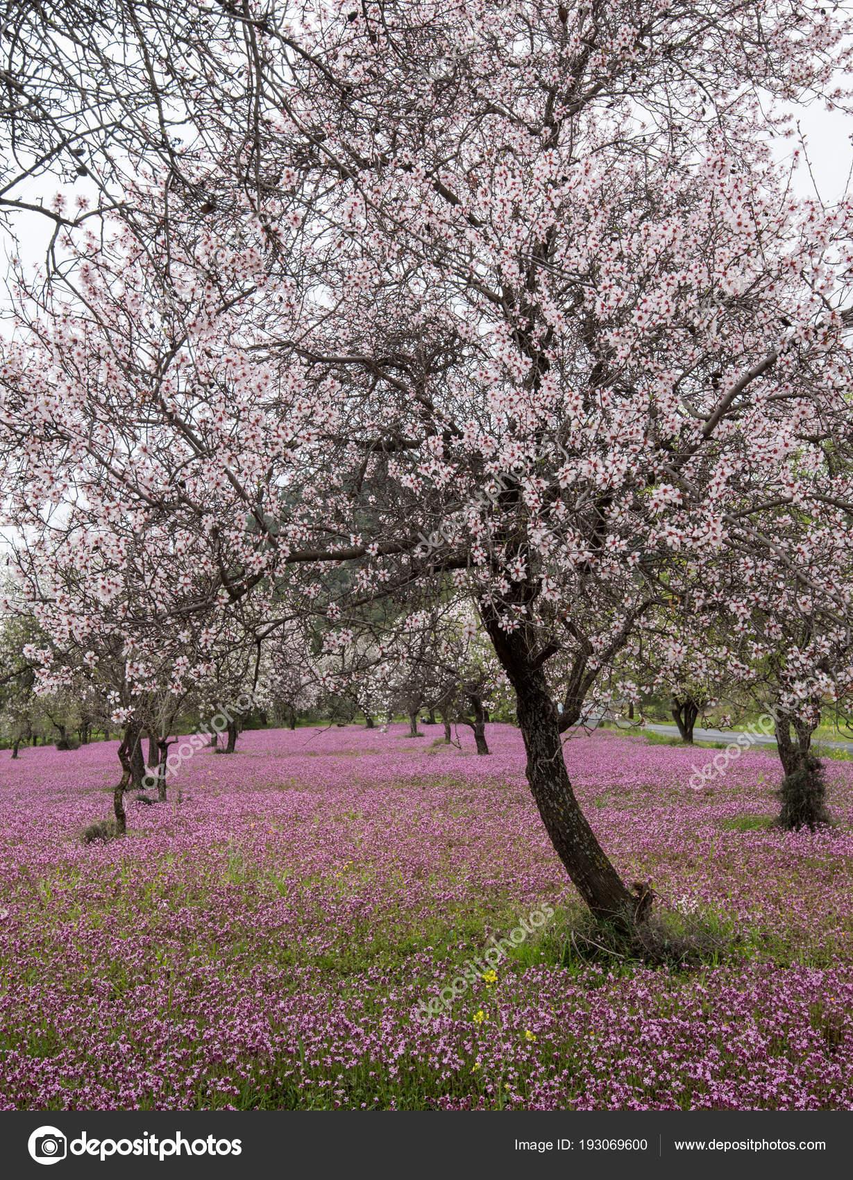 Beautiful Field Almond Trees Full White Blossoms Purple Veil Flowers