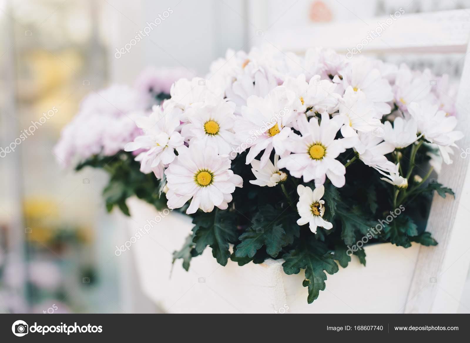White Gerbera Flower In Wooden Box Stock Photo Djedzura 168607740
