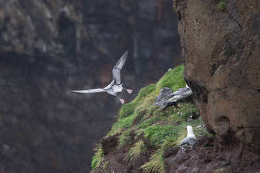 seagull nest on the cliff in Mykines