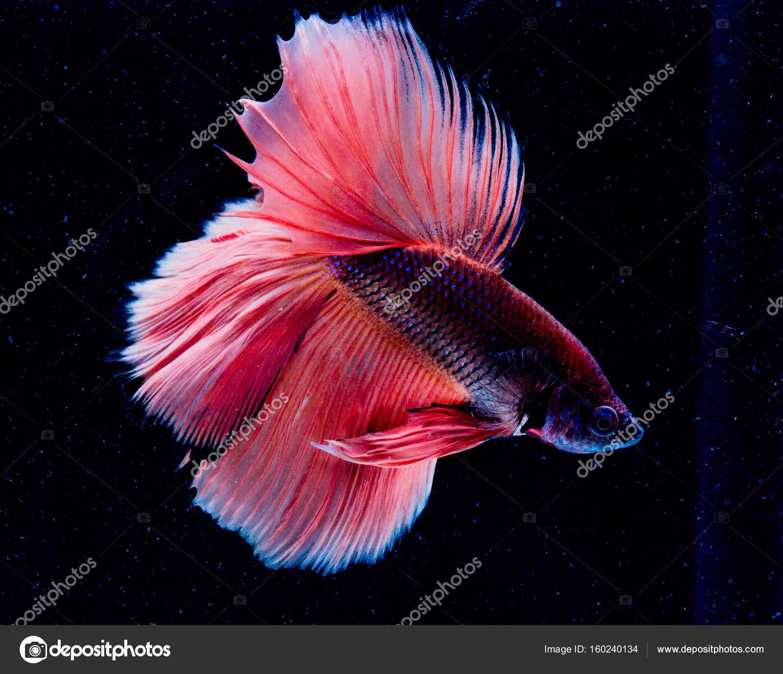 beautiful betta fish — Stock Photo © Spnithi #160240134