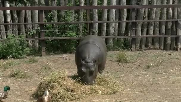 Flusspferdbaby im Zoo