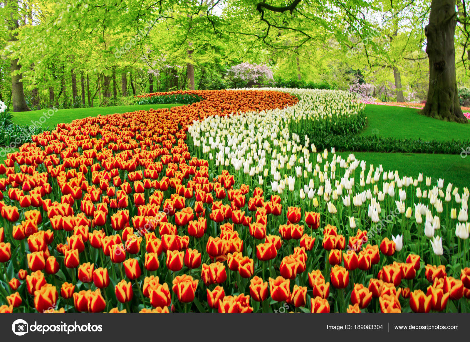 Beautiful Spring Tulips Flowers Park Netherlands Holland Stock