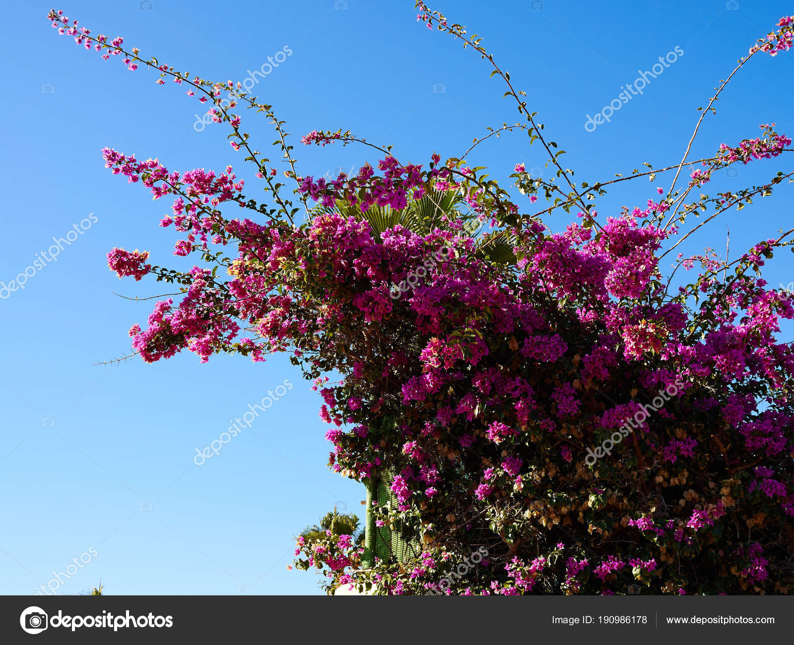Blooming bougainvillea paper flower stock photo ronyzmbow 190986178 blooming bougainvillea paper flower with clear blue summer sky background photo by ronyzmbow mightylinksfo