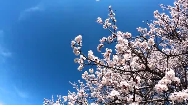 Jarní kvetoucí pozadí. Kvetoucí meruňka na pozadí modré oblohy. Krásná přírodní scéna s kvetoucím stromem a slunečními erupcemi. Jarní květiny.