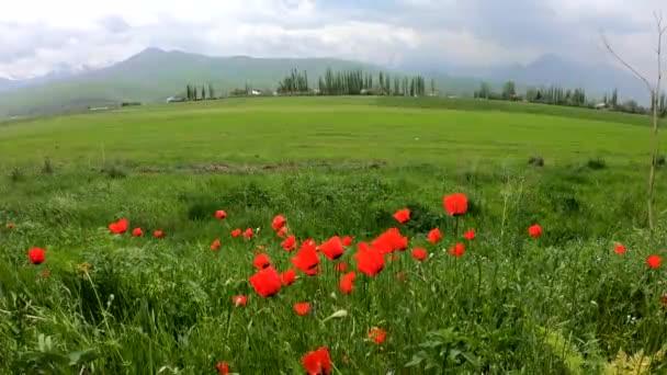 Vörös mákok a dühös hegyek hátterében. Nyári és tavaszi természet. Gyönyörű virágok.