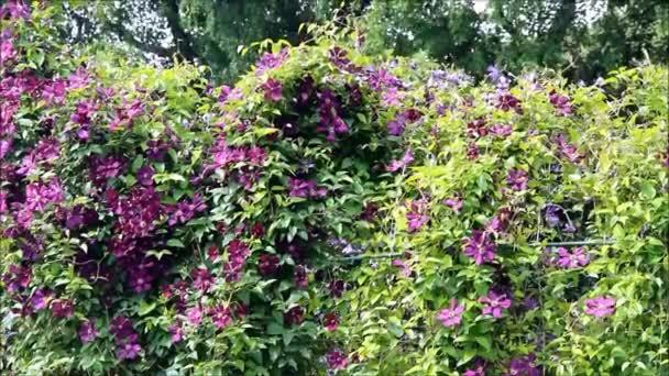 Egy sűrű bokor virágzó sötét lila a klematisz