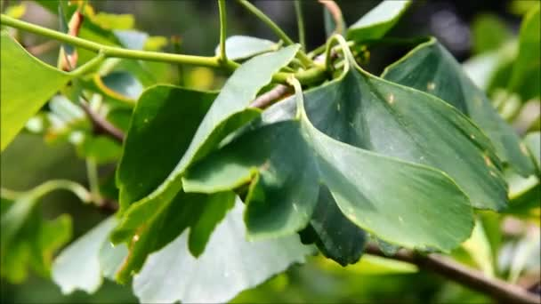 Ginkgo biloba leaves in the summer time