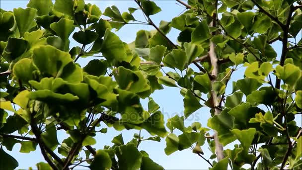 Green leaves of Ginkgo biloba