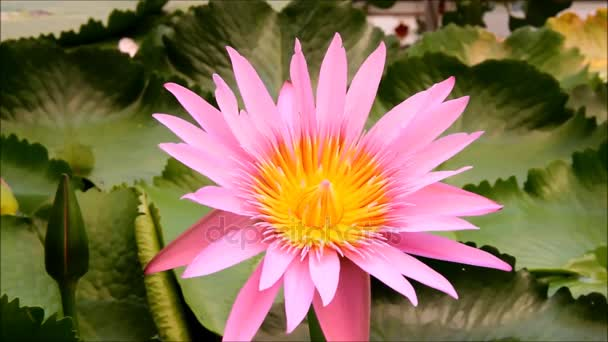 A big pink Nymphaea or water-lily flower
