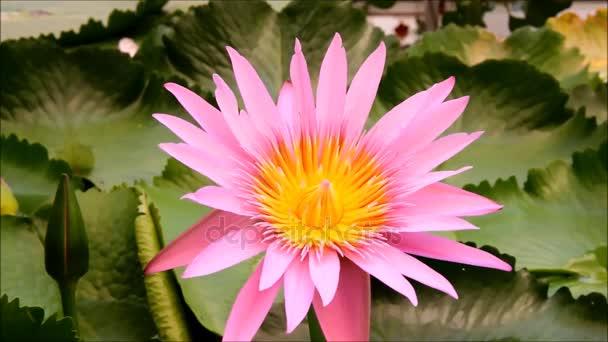 Velký růžový leknín nebo leknín květ