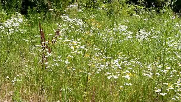Louka s heřmánkem a divokých trav, motýli letící nad nimi