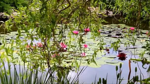Salix sepulcralis Erythroflexuosa vagy csavart fűz rózsaszín a Vízililiomok tó felett