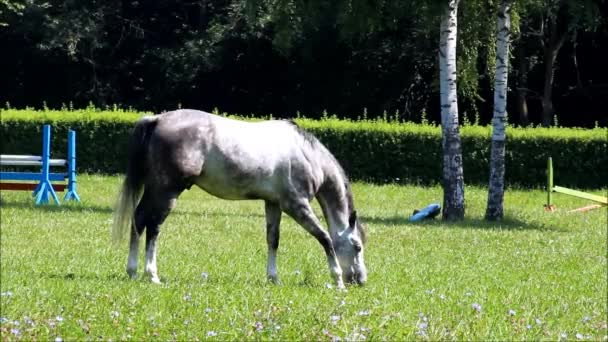 A grey horse grazing in a paddock