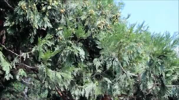 Fruiting Thuja tree