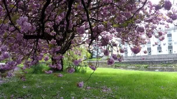 Kvetoucí stromy v Kendal, Velká Británie