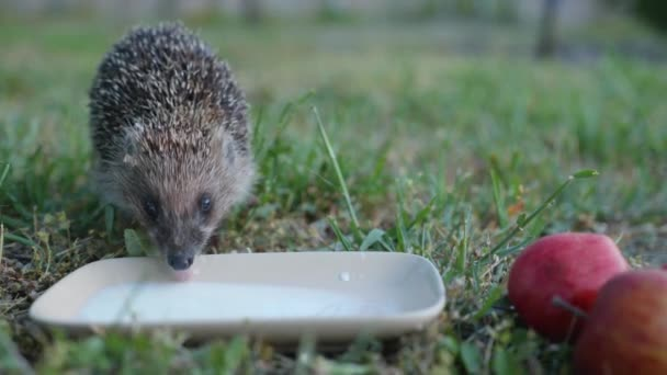 sympathetic wild hedgehog walks along the green grass to a saucer with milk and drinks refreshments on a warm summer day