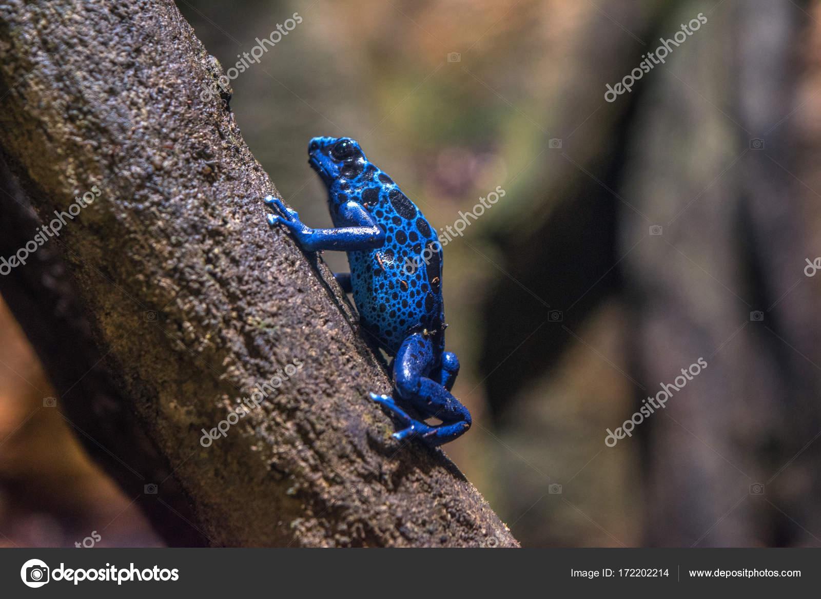 Grenouille Bleue Venimeuse petite grenouille venimeuse bleue — photographie rgc1983 © #172202214
