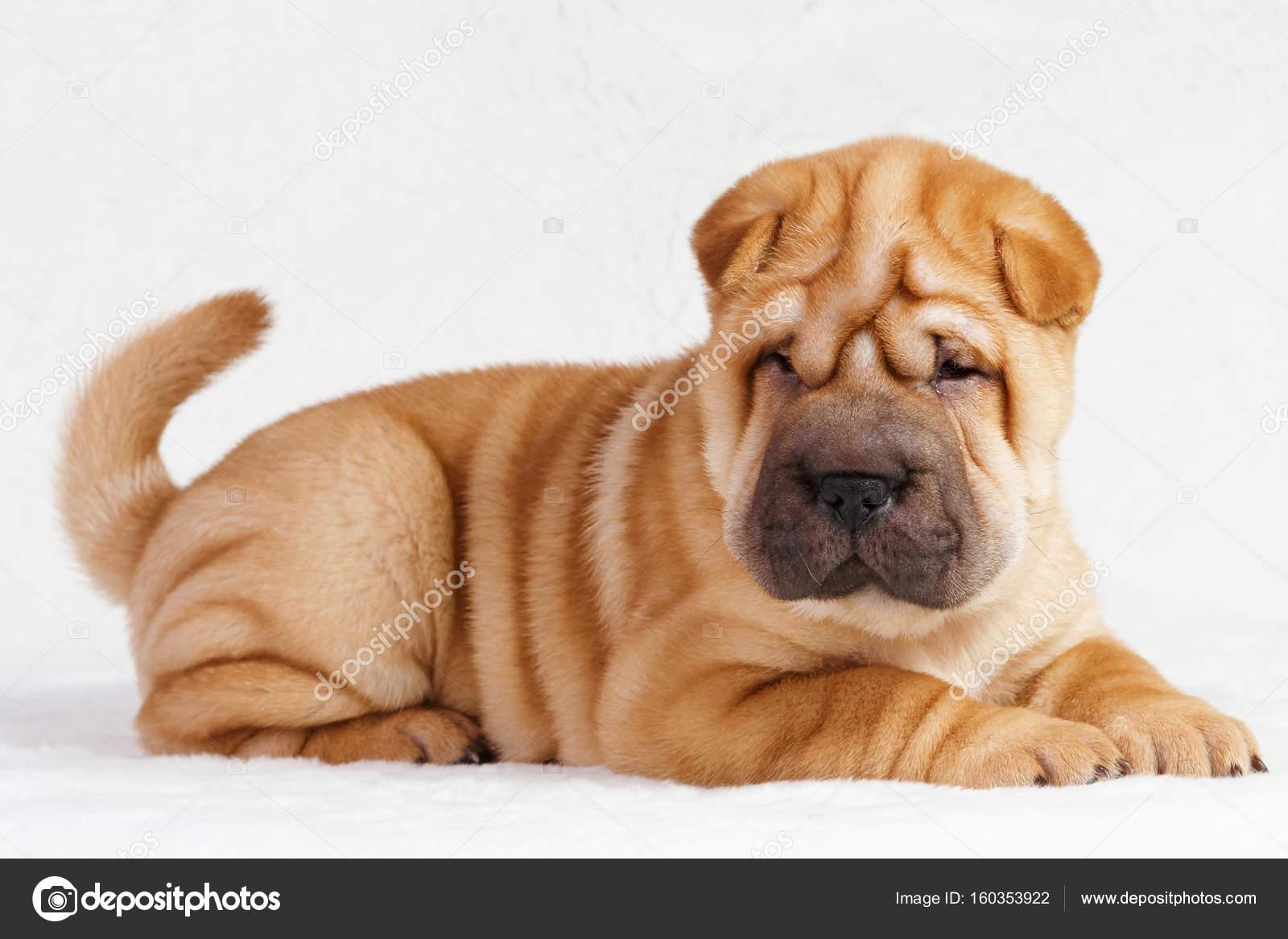 Cucciolo di cane shar pei — Foto Stock © rojer13.bk.ru #160353922