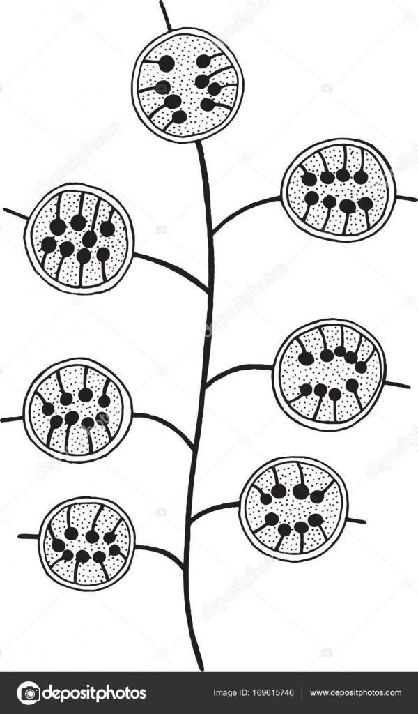 Rama de flores de Lunaria - página para colorear para adultos ...