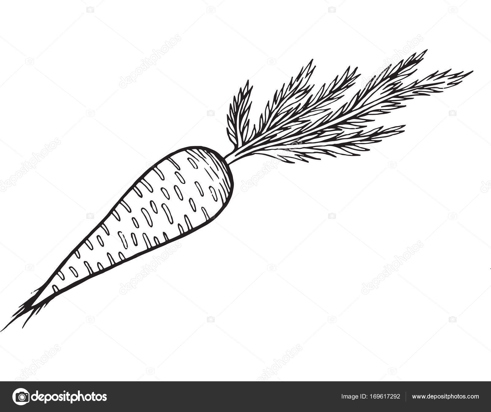 carrot coloring page hand drawn illustration stock vector