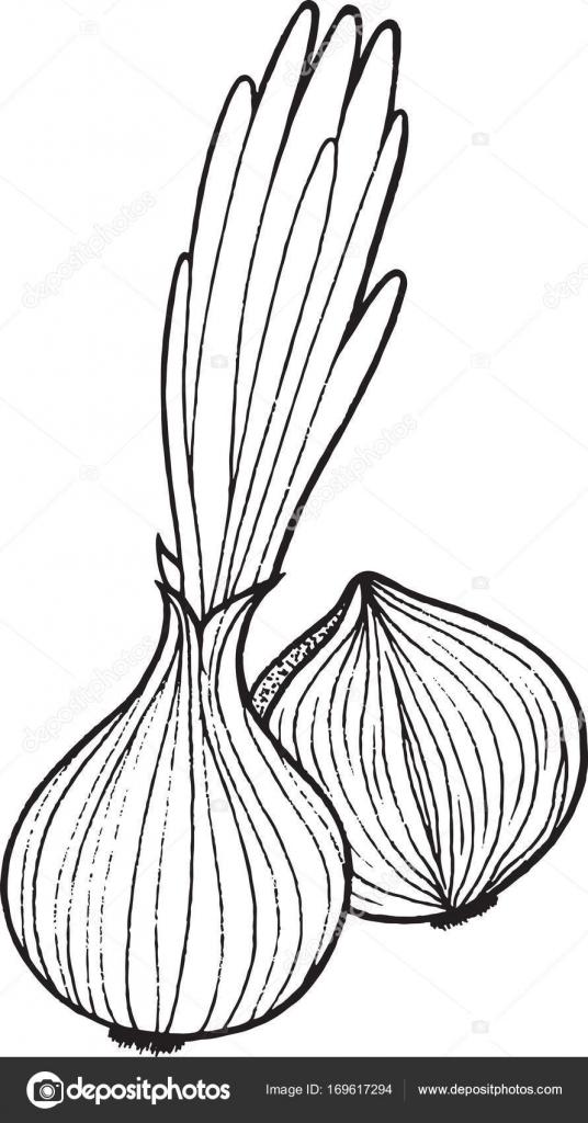 Boyama Sayfası Sarımsak Bitki çiçek Soğanı Sap Ve Beyaz Arka Plan