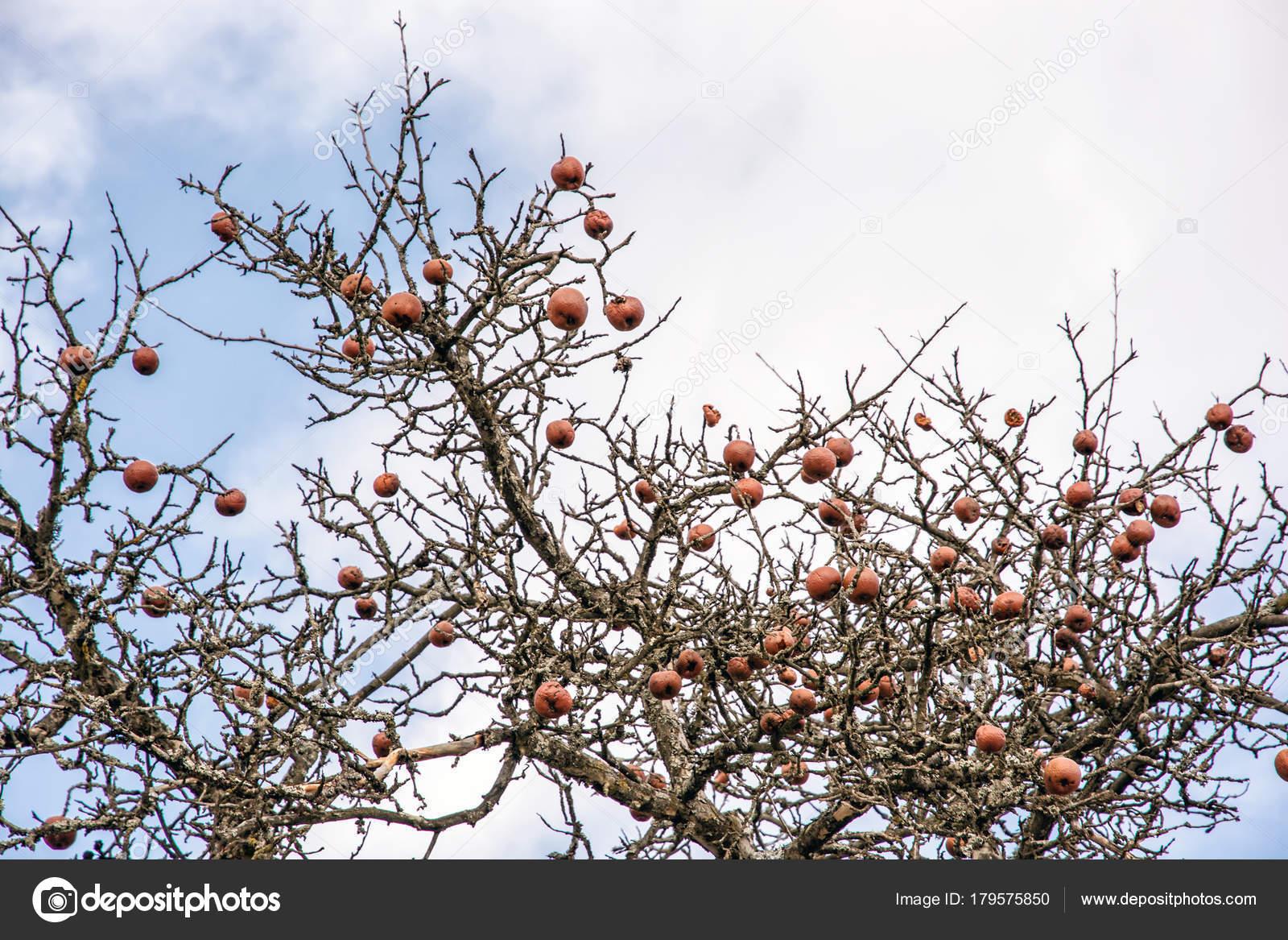 Arbol sin frutas rbol sin hojas y con la fruta en for Arboles de hoja perenne sin fruto