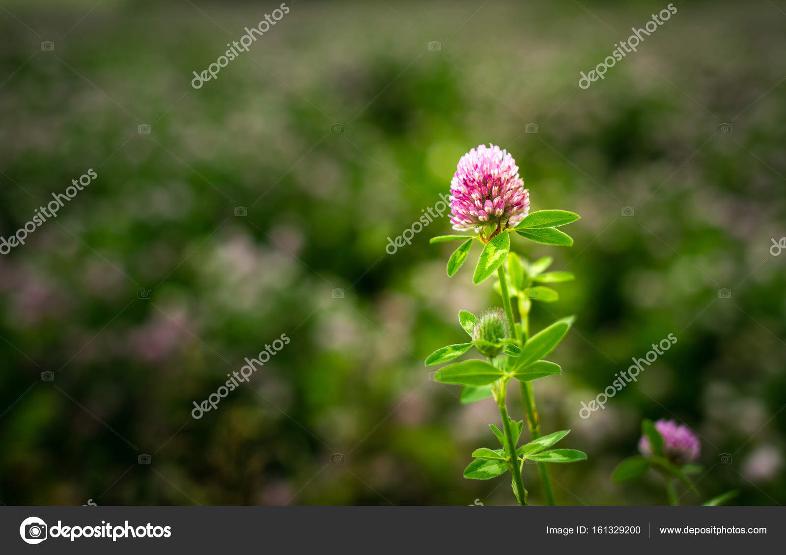 Clover Flower Trifolium Pratense Outside In A Field Stock Photo