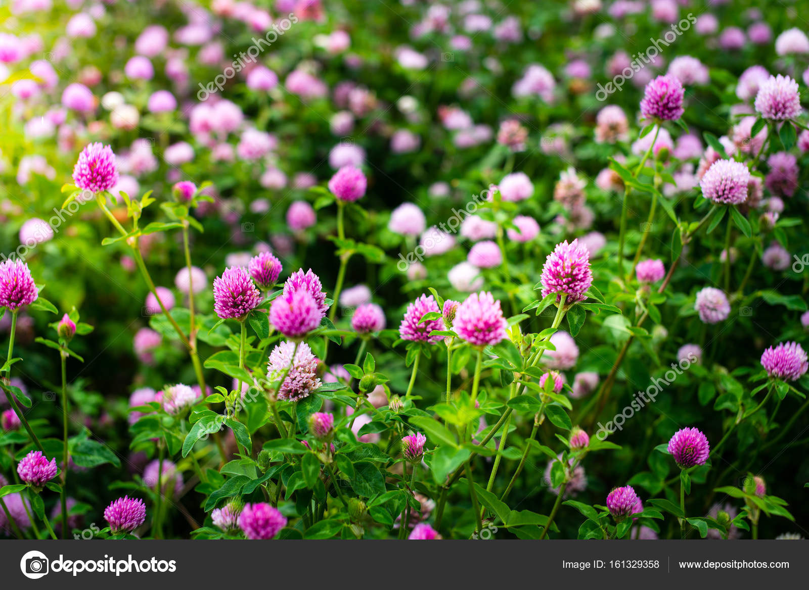 Clover Flowers Trifolium Pratense Outside In A Field Stock Photo