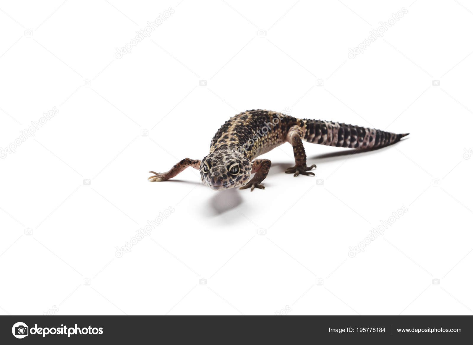 Leopard Gecko Close Up Of A Isolated On White Background Photo By Maurus