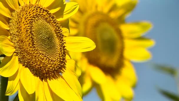 Dva kvetoucí slunečnice na pole rozostření