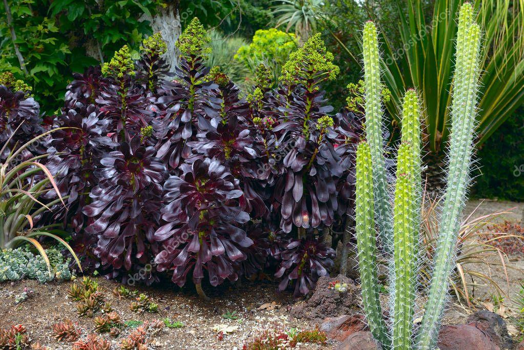 Dark purple leaves of the succulent Houseleek Tree