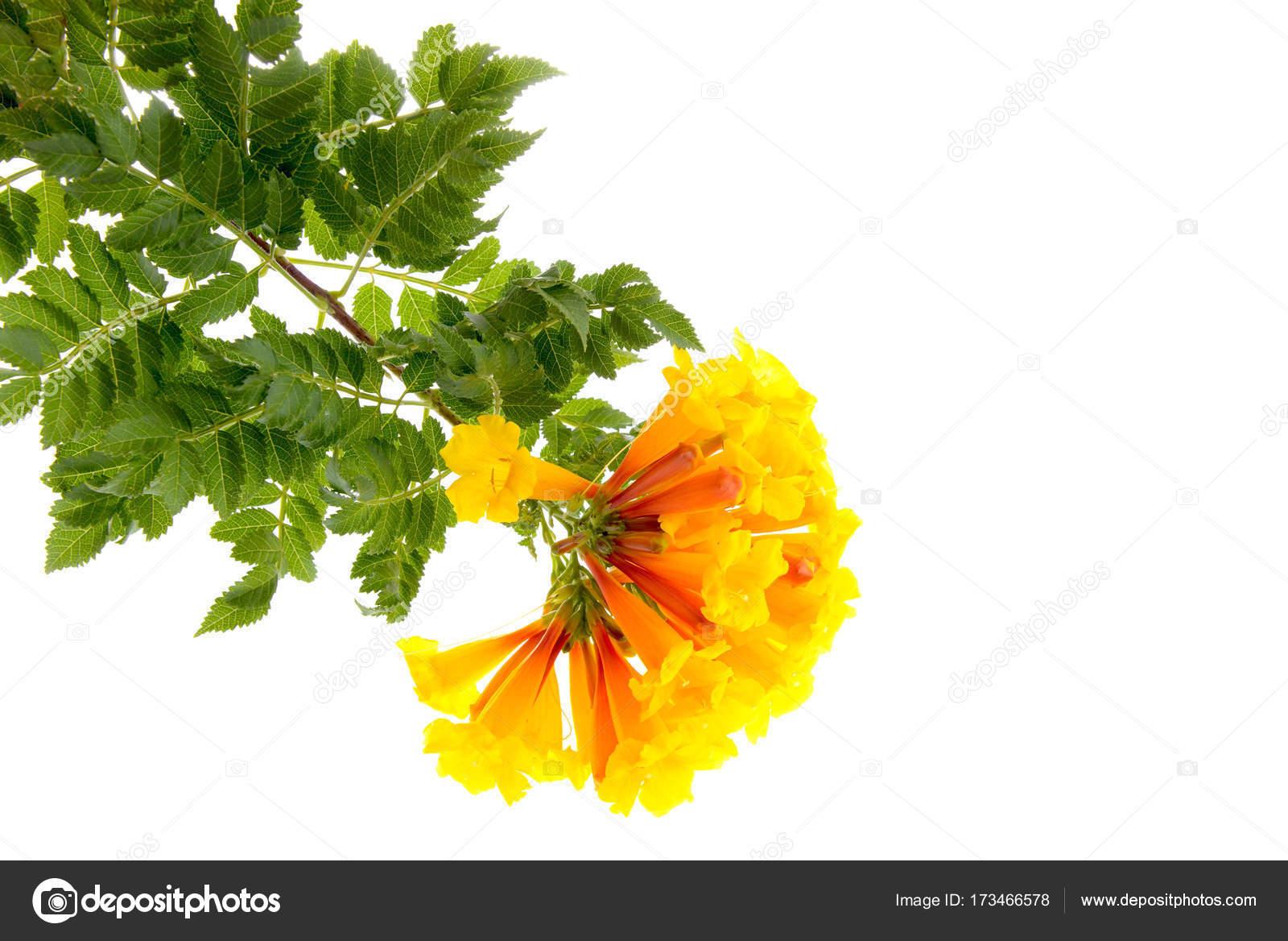 Yellow Bell Flowertecoma Stans Stock Photo Yuriy61 173466578