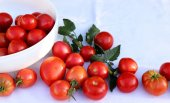 Bunch of succulent ripe fresh red tomatoes on a white cotton cloth in organic garden, with blurred background. Healthy raw food ingredient.