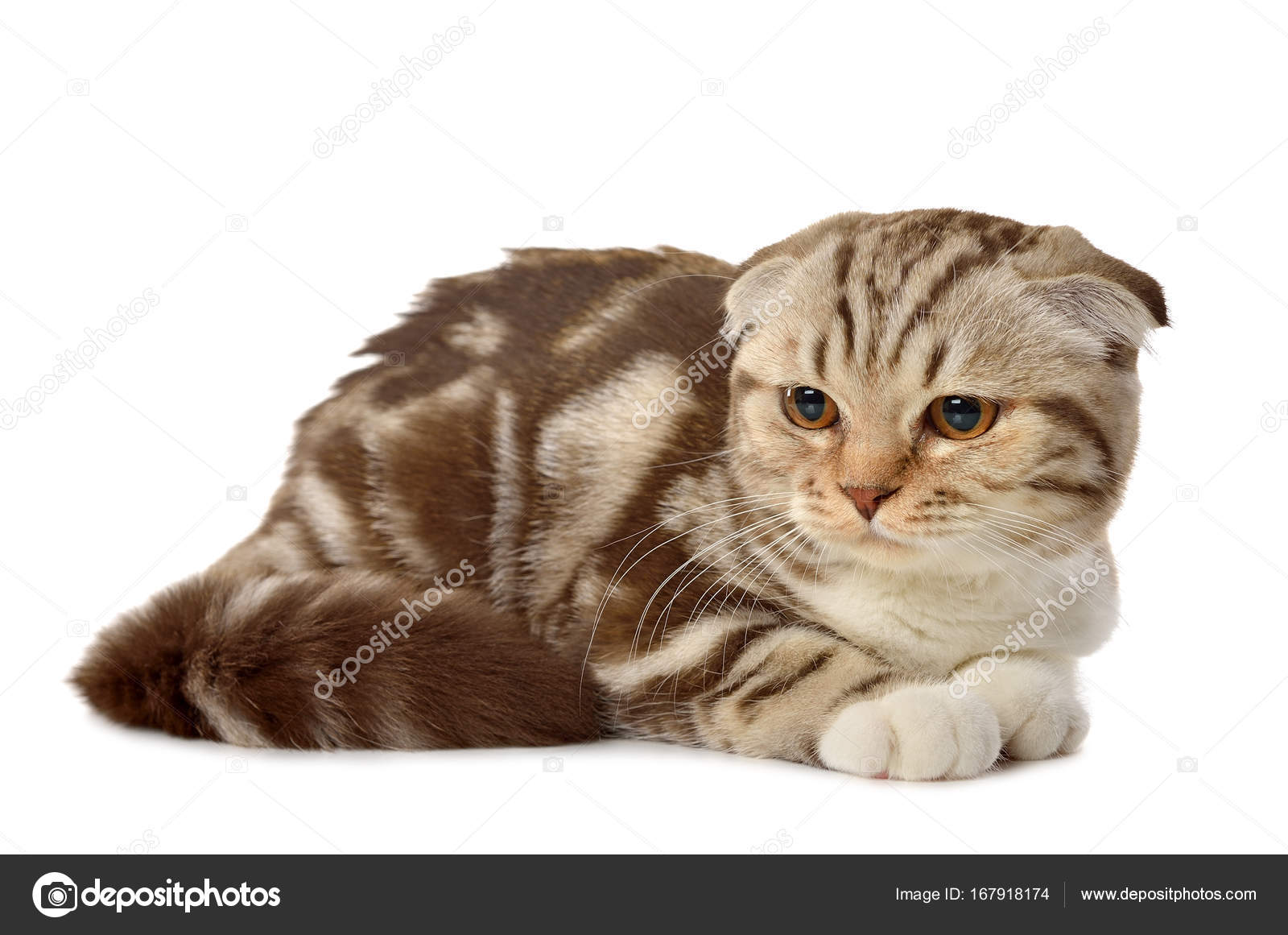 Marble Brown Scottish Fold Kitten Stock Photo C Olyina 167918174