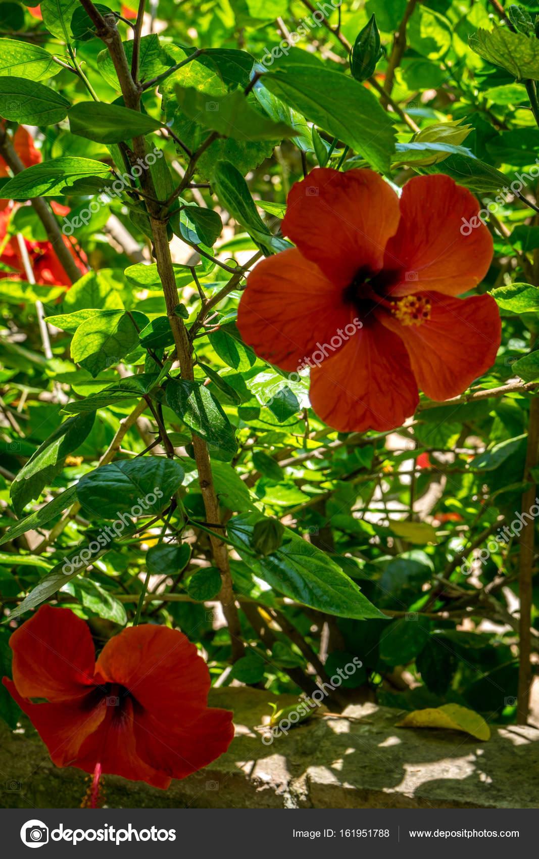 Hibiscus dans les jardines, jardin royal de l\'Alcazar de los Rey ...