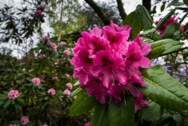 Rhododendron bloom in the Portlands Crystal Springs Rhododendron Garden