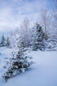 Zasněžené stromy v zimě na chladné zimní den.
