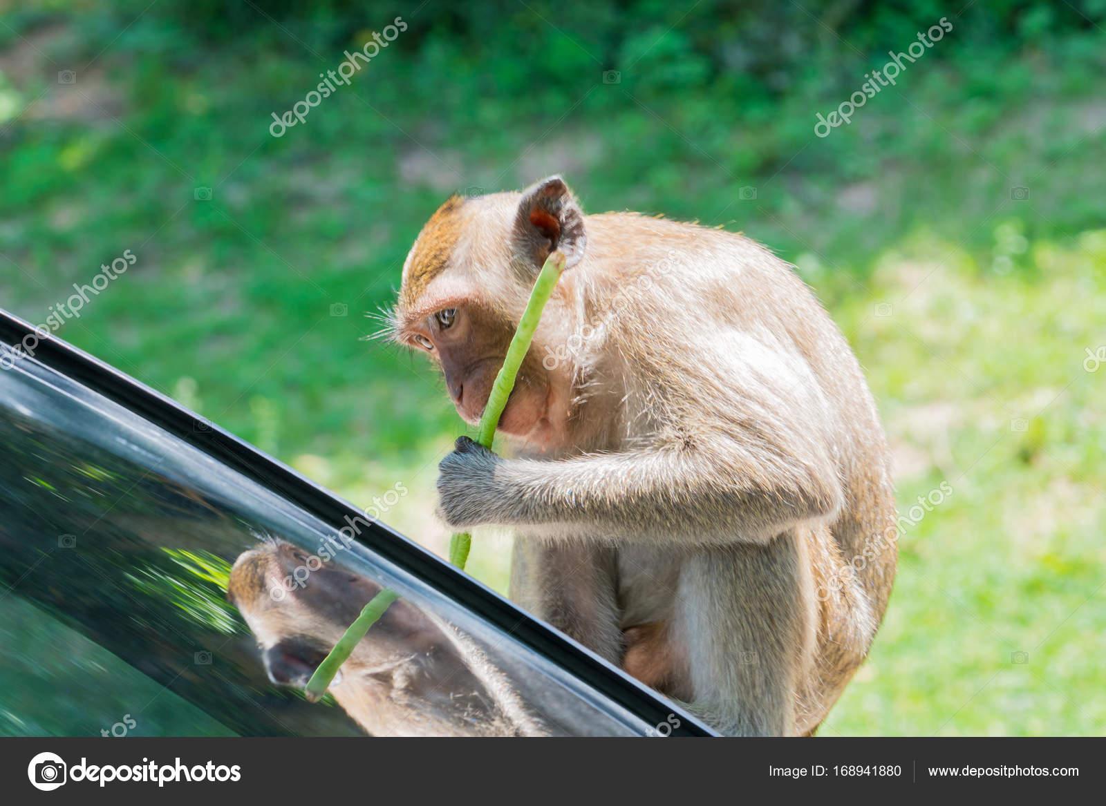 Bezaubernd Haustier Affe Galerie Von Der Frisst Die Lange Bohnen Beim Sitzen