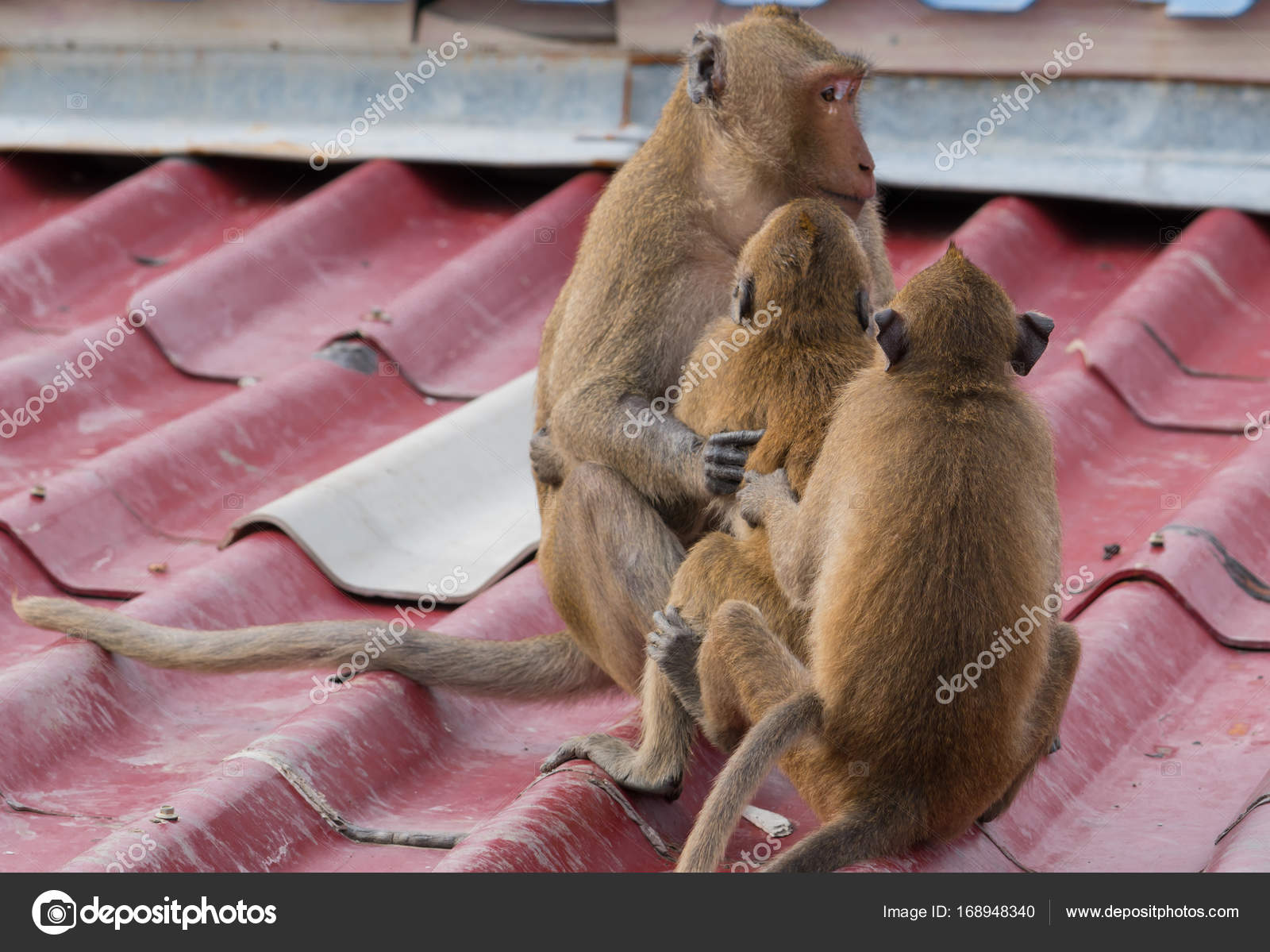 Of monkey having sex Picture