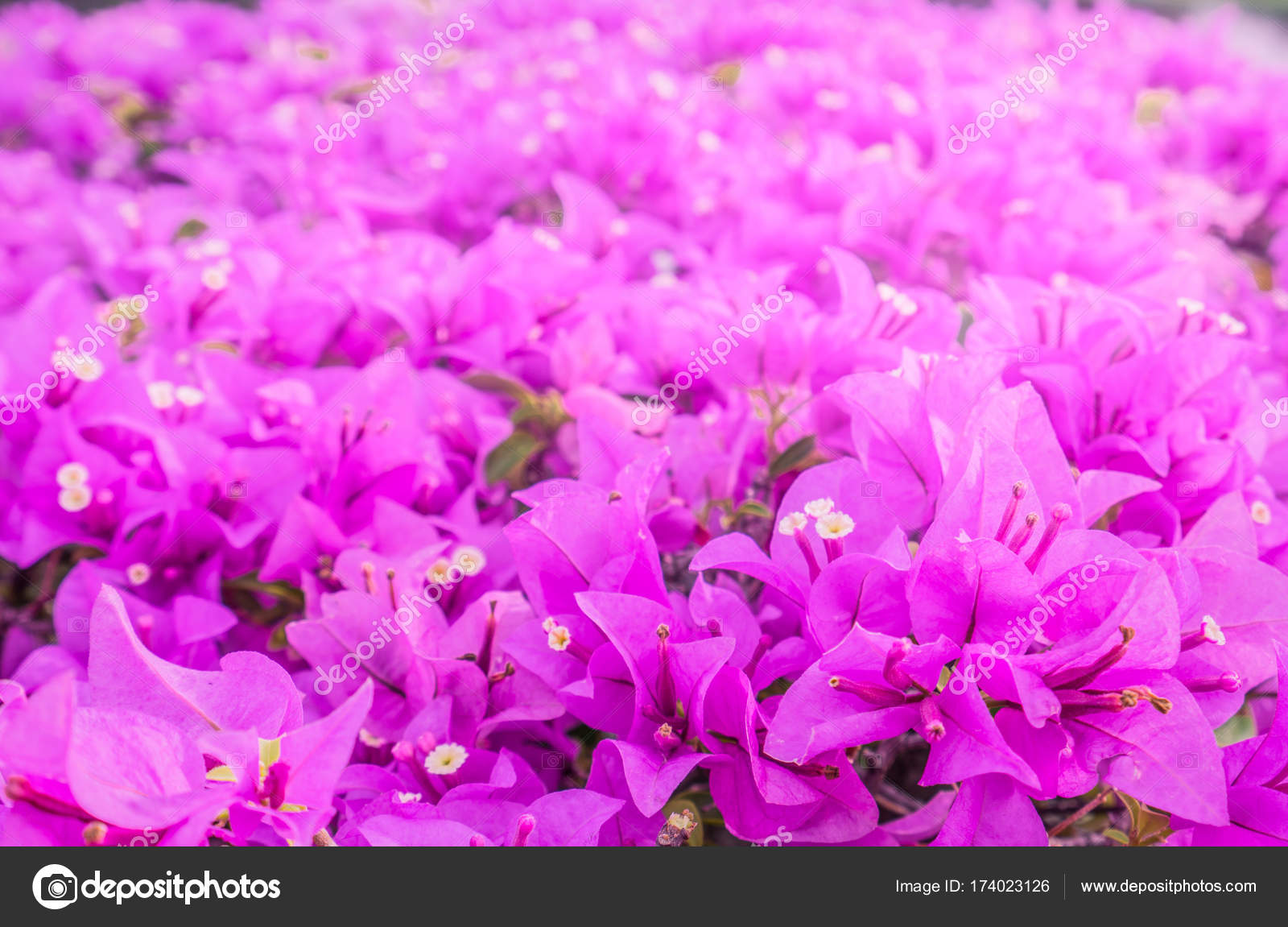 Beautiful Pink Paper Flower Bougainvillea Shiny Flowers With