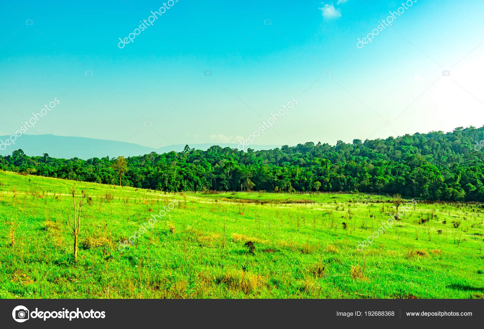 Beautiful rural landscape of green grass field with white flowers on beautiful rural landscape of green grass field with white flowers on clear blue sky background in the morning on sunshine day forest behind the hill izmirmasajfo